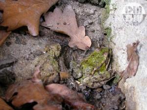 Une grenouille verte hiberne dans le caniveau